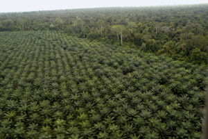 Borneo Palm Oil Plantation