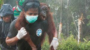 Borneo Orangutan Rescue